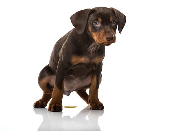 puppy-peeing-white-background_240634480_0.jpg